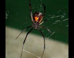 tempe black widow