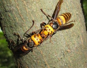tempe hornet