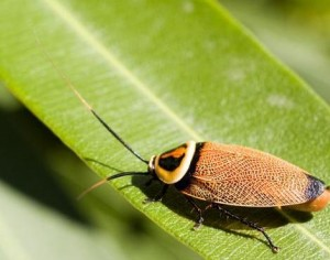 tempe cockroach