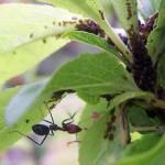 tempe ant
